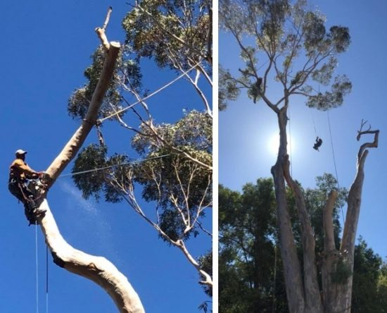 Blue gum tree felling