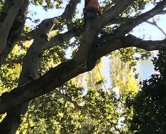 Preservation and maintenance of oaks