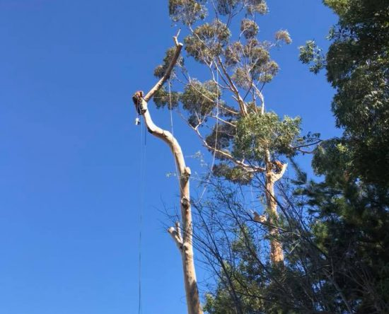 Large blue gum tree felling cape town 1 of 5