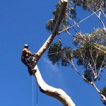 Large blue gum tree felling cape town 2 of 5