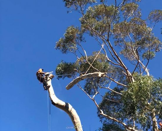Large blue gum tree felling cape town 3 of 5