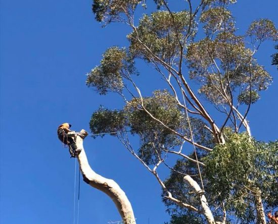 Large blue gum tree felling cape town 4 of 5