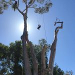 Large blue gum tree felling cape town 5 of 5